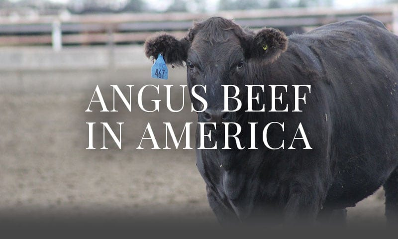 Angus Beef in America